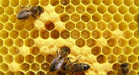 abejas3